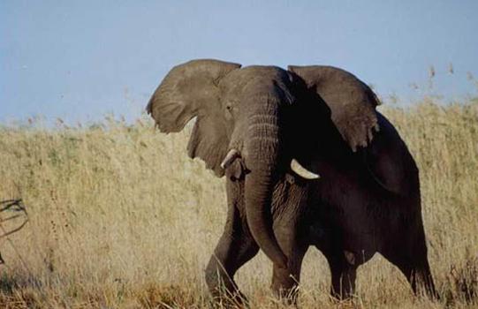 elefant_007