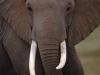 elefant_001