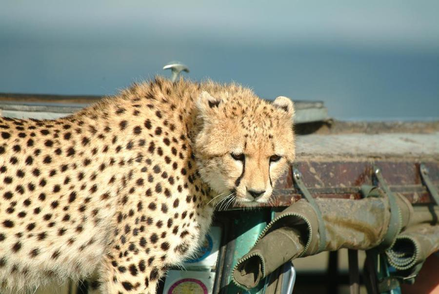 lofty_tours_geparden_safari_08