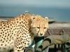 lofty_tours_geparden_safari_08