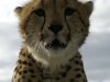 lofty_tours_geparden_safari_10