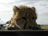 lofty_tours_geparden_safari_11
