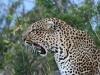 comp_leopard-lewa
