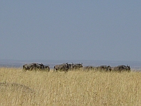 comp_masai-mara-wildebeest-www-lofty-tours-com-6
