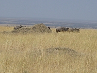 comp_masai-mara-wildebeest-www-lofty-tours-com-9