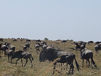 comp_masai-mara-wildebeest-www-lofty-tours-com