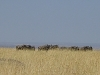 comp_masai-mara-wildebeest-www-lofty-tours-com-6