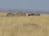 comp_masai-mara-wildebeest-www-lofty-tours-com-9