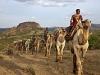 comp_ol-malo-camels