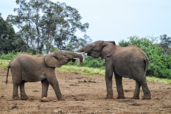 Karl aberdares elefanten