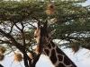 comp_giraffe_tree