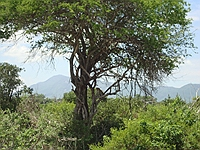 comp_tsavo-east-lepard-www-lofty-tours-com
