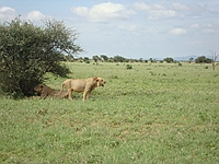 comp_tsavo-east-lion-www-lofty-tours-com-10