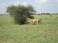 comp_tsavo-east-lion-www-lofty-tours-com-11