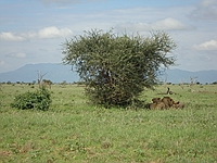 comp_tsavo-east-lion-www-lofty-tours-com-2