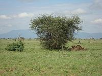 comp_tsavo-east-lion-www-lofty-tours-com-2