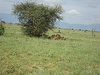 comp_tsavo-east-lion-www-lofty-tours-com-3