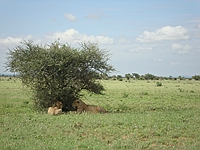 comp_tsavo-east-lion-www-lofty-tours-com-5