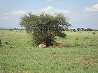 comp_tsavo-east-lion-www-lofty-tours-com-6