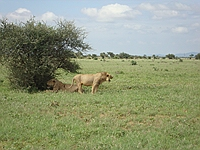 comp_tsavo-east-lion-www-lofty-tours-com-9