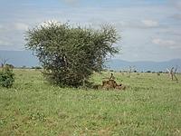 comp_tsavo-east-lion-www-lofty-tours-com