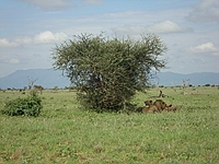 comp_tsavo-east-lion-www-lofty-tours