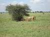 comp_tsavo-east-lion-www-lofty-tours-com-11