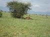 comp_tsavo-east-lion-www-lofty-tours-com-3
