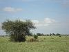 comp_tsavo-east-lion-www-lofty-tours-com-4