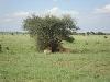 comp_tsavo-east-lion-www-lofty-tours-com-6