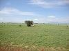 comp_tsavo-east-lion-www-lofty-tours-com-8