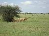 comp_tsavo-east-lion-www-lofty-tours-com-9