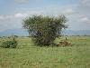 comp_tsavo-east-lion-www-lofty-tours
