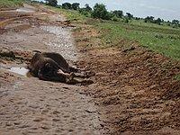 comp_tsavo-east-lion-www-lofty-tours-2