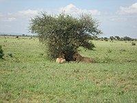 comp_tsavo-east-lion-www-lofty-tours-com-7